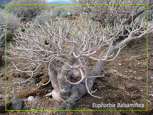flora-euphorbia-balsamifera