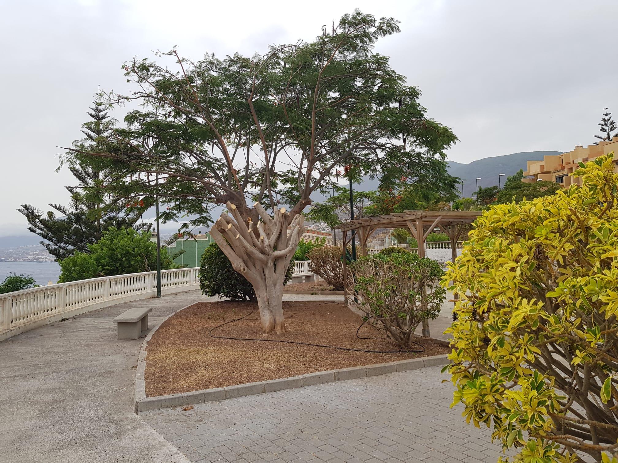 Poda plaza Bernabé Hdez.en Radazul (2)
